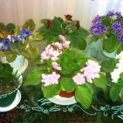 Inmultirea Violetelor de Parma