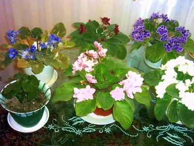 Förökning Parma Violets