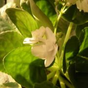 Effekter av spårelement för utvecklingen av Saintpaulia