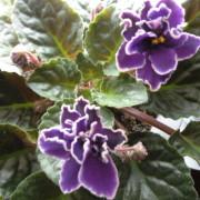 Violeta Africana - Senpolia Colection