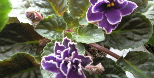 Violeta Africana - Senpolia Capili