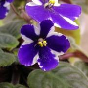 violeta africana afectata de thrips