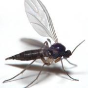 sciaridae insecta-adult