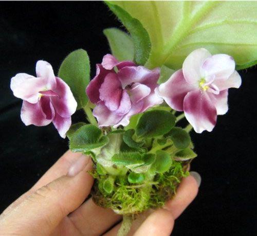 ingrasaminte ideale pentru udarea prin fitil a violetelor africane