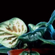 planta nematoder contaminata