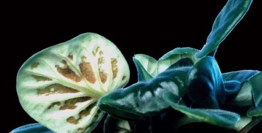 nematoda planta contaminata