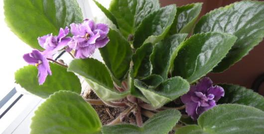 Afrikanische Violetelor Licht