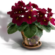 classification of African violets